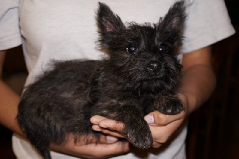 Cairn Terrier in Tucson (5)