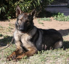 Sable German Shepherd female for sale Denver
