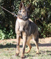 Sable German Shepherd female working bloodlines