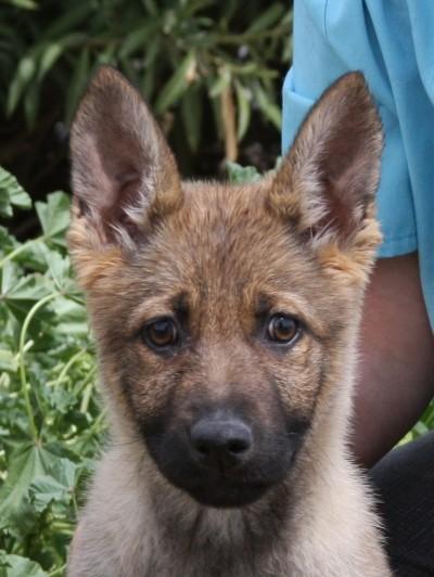 Andrea best German Shepherd puppies