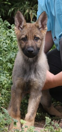 Andreas sable German Shepherd puppy