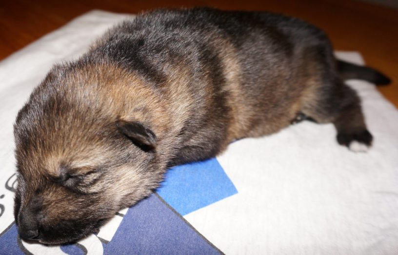 Annora German Shepherd Puppy (7)