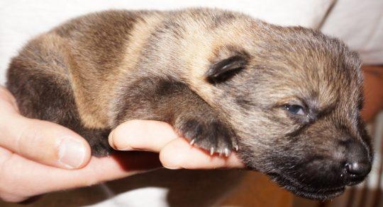 Apsel German Shepherd Puppy (2)