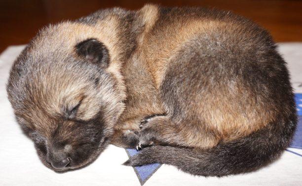 Arya German Shepherd Puppy (5)