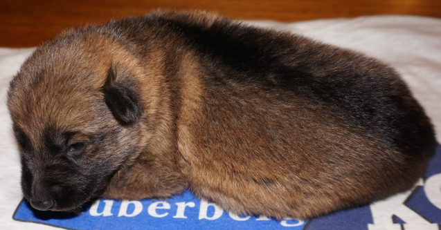 German Shepherd Puppy Amara