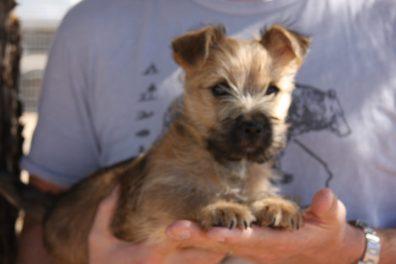 Cairn Terrier Male Tucson AZ
