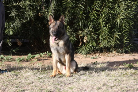 Male German Shepherd trained sable male for sale