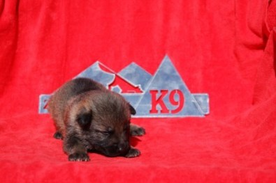 Sable Shepherd puppy for sale NY