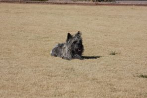 Buying a Cairn Terrier Tucson
