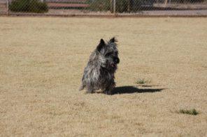 Cairn Terrier Stud Dog Ariazona