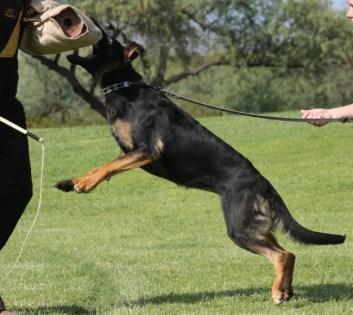German Shepherd female protection