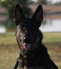 German Shepherd Female trained for protection
