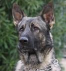 sable german Shepherd stud dog in Arizona