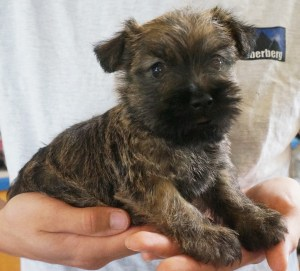 Cairn Terrier Puppies Available - ZAUBERBERG!