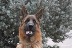 Best German Shepherd Stud dog