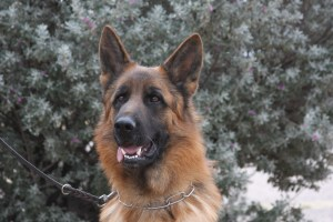 trained Germna Shepherd for sale from Breeder in Arizona