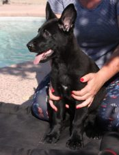 Opa Solid Black German Shepherd Puppy available