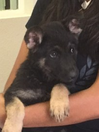 Ned German Shepherd Puppy for sale