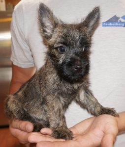 Ignus Vom Zauberberg Cairn Terrier Puppy For Sale