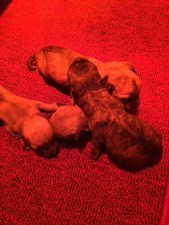 Cairn Terrier Puppy for sale