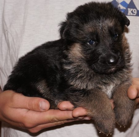 Male German Shepherd Puppy in Tucson