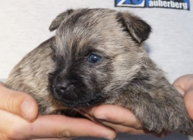 Cairn Terrier Male For Sale