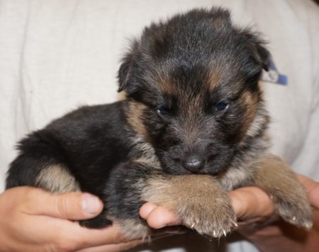 German Shepherd Breeder Tucson