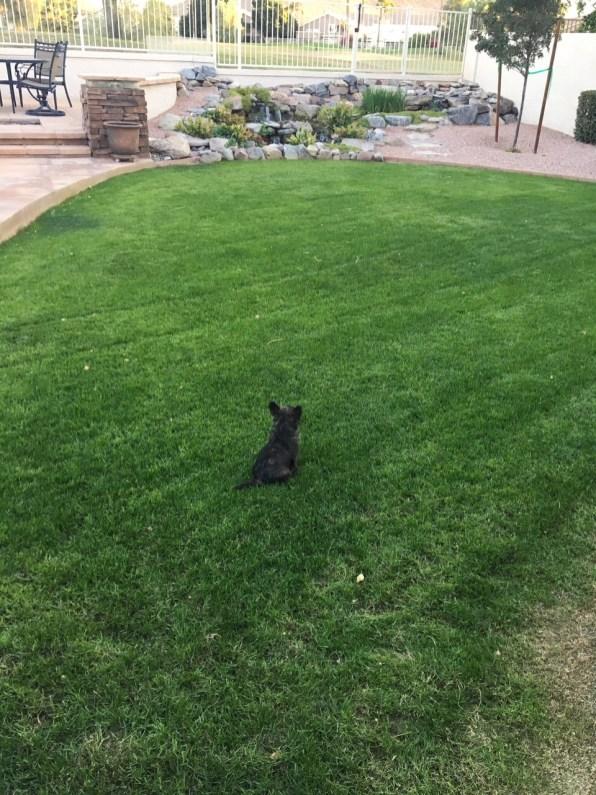 Marsha Cairn Terrier