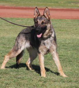 Quix German Shepherd sable breeding Female