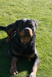 Eros-German-Import-Rottweiler-for-Sale (1 of 8)