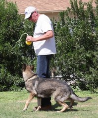 Protection trained German Shepherd male for sale near me