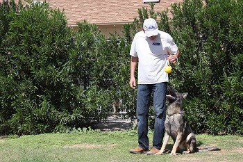 German Shepherd Male obedience training sit