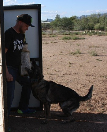Serious protection dog training in hold and bark