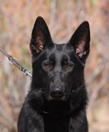 Solid black German Shepherd male for sale
