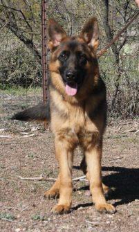 Black and red German Shepherd Apollo