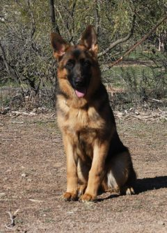 German Shepherd available Apollo