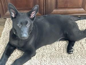 Solid black German Shepherd puppy