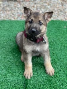 Why decide on a German Shepherd breeder in Tucson