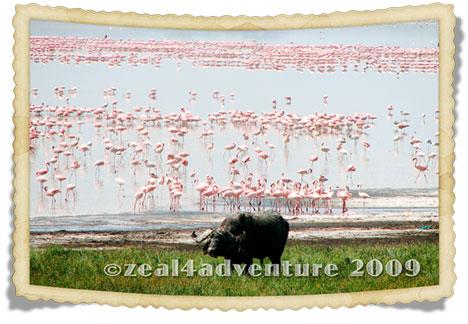 buffalo-flamingo