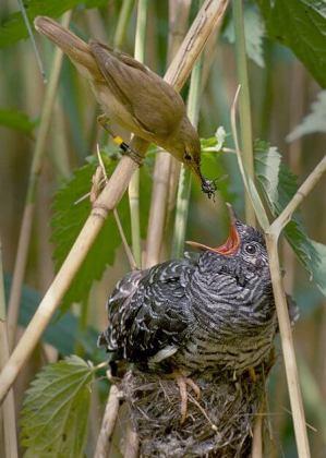 Một con chim cúc cu non được nuôi trong tổ loài chim khác. Nguồn: Wikipedia