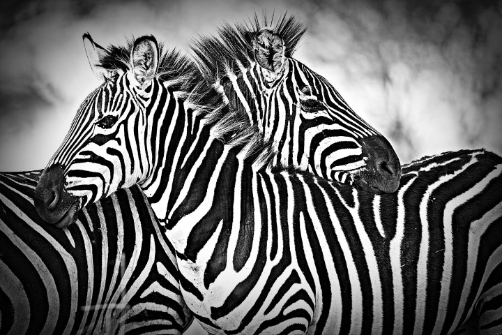 What's The Deal With The Zebra(s)? Our Story.