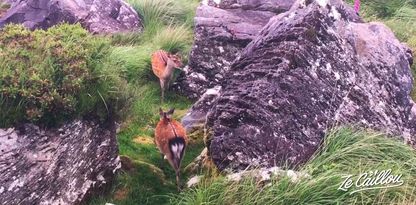 Observer des daims rouges sauvages dans le parc Killarney en Irlande