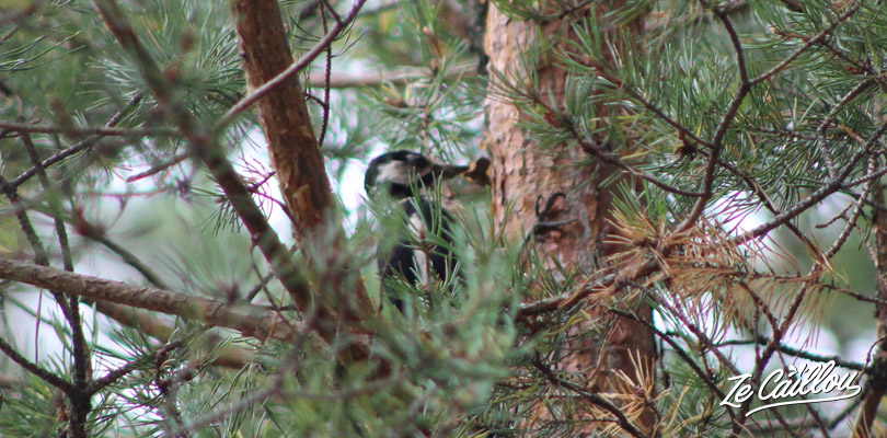 Spot birds of the Swedish fauna in the forest