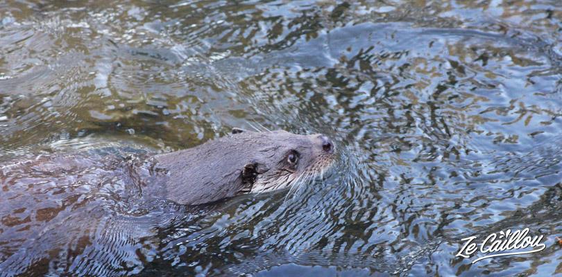 Regardez les loutres nager au zoo ranua en Finlande proche de Rovaniemi