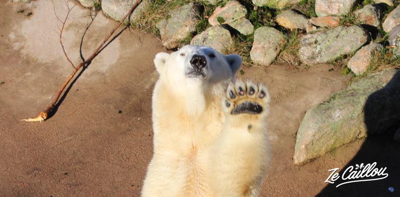 La maman ours polaire fait coucou au zoo ranua de Finlande