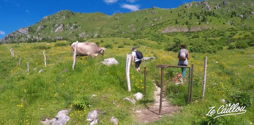 Partager le Mont KRN avec les vaches et moutons dans le parc Triglav en Slovénie.