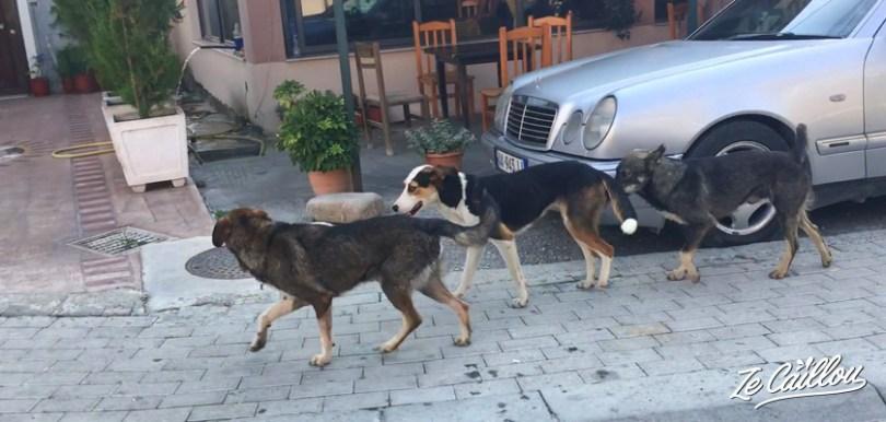 Découvrez dans ce blog voyage que l'Albanie n'est pas un pays dog friendly, car il y a beaucoup de chiens errants.