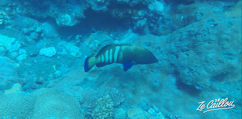 A nice fish we saw sometimes at Cap La Houssaye during our dives in La Reunion