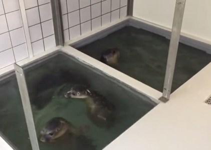 Dit jaar geen doorstart voor Zeehondenopvang Eemsdelta
