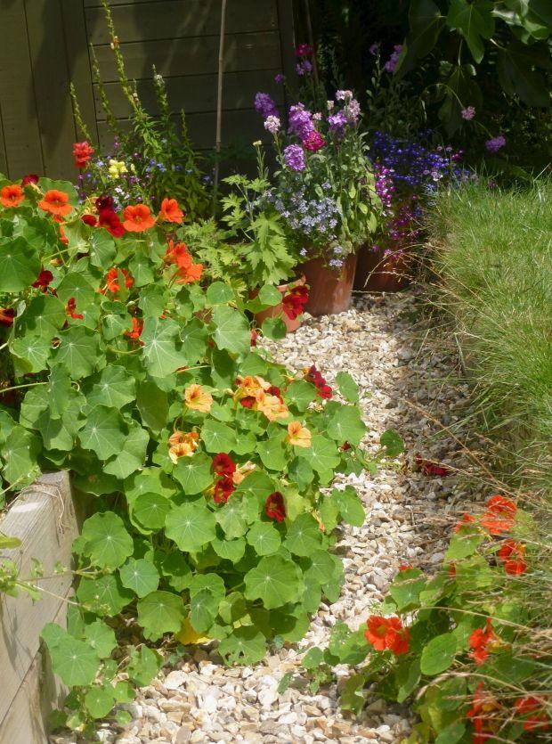 nastutiums over taking the veg patch